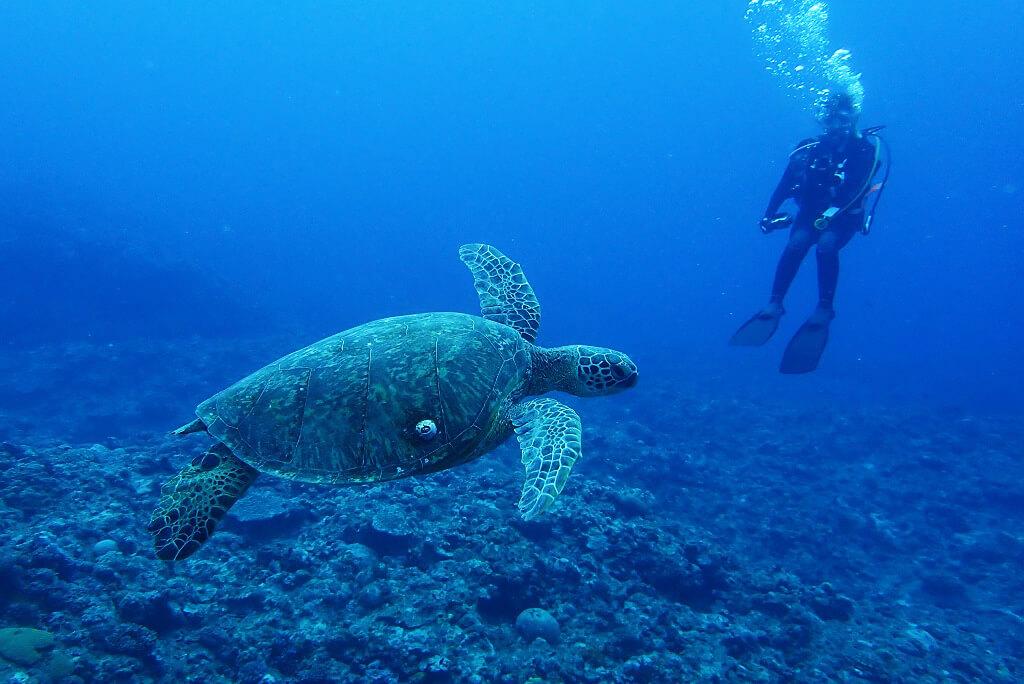 巨大なアオウミガメ