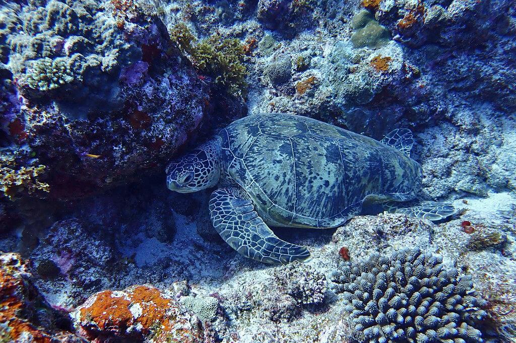 休憩中のウミガメ