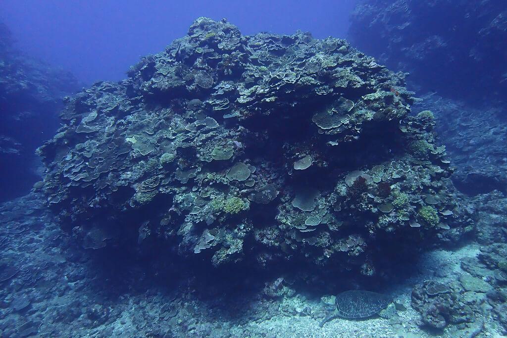 水底で休むアオウミガメ