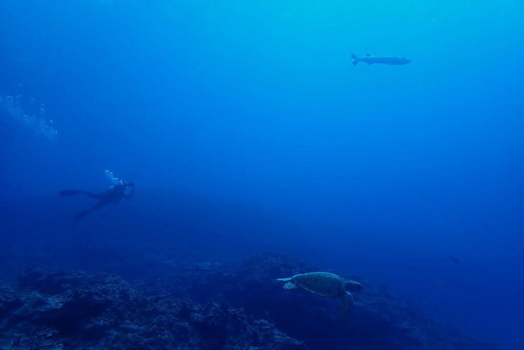 カメとオニカマス