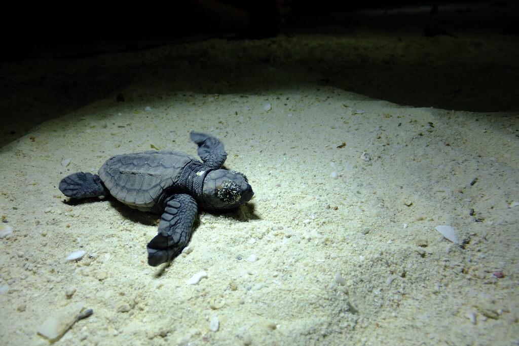 アカウミガメの赤ちゃん