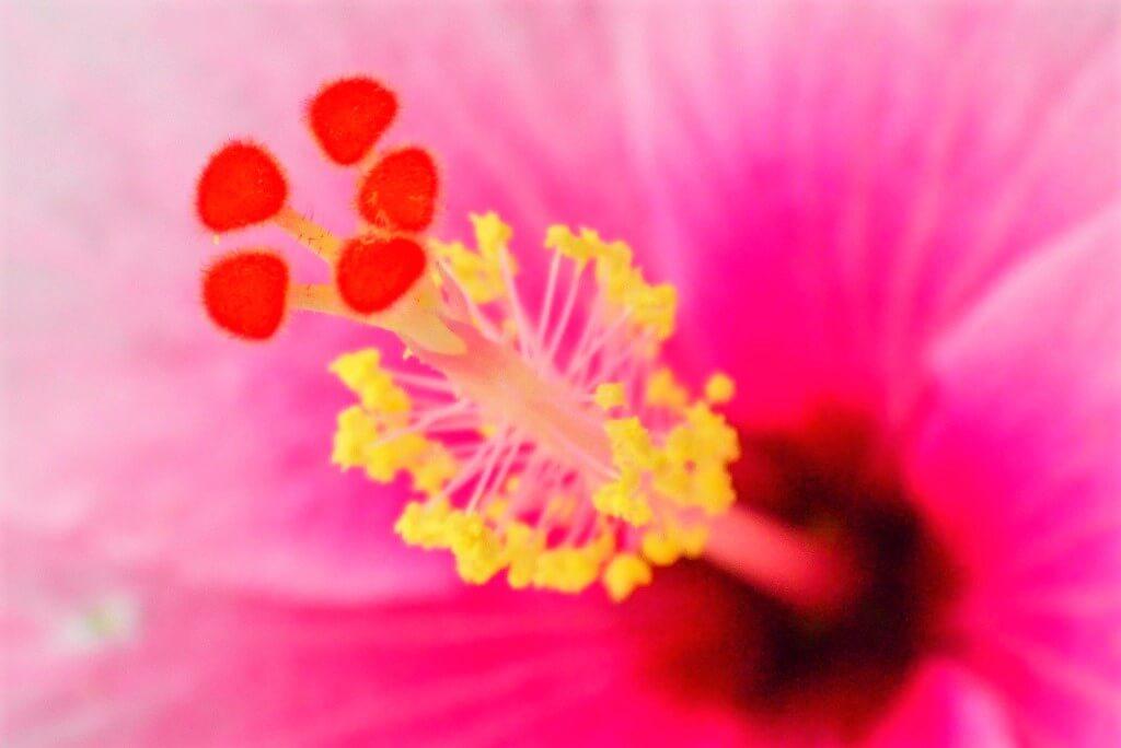 ハイビスカスの花芯
