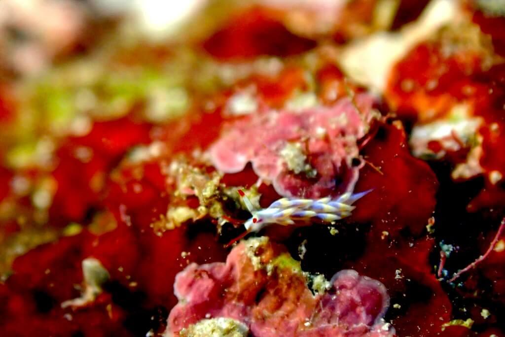 アカヒゲミノウミウシ