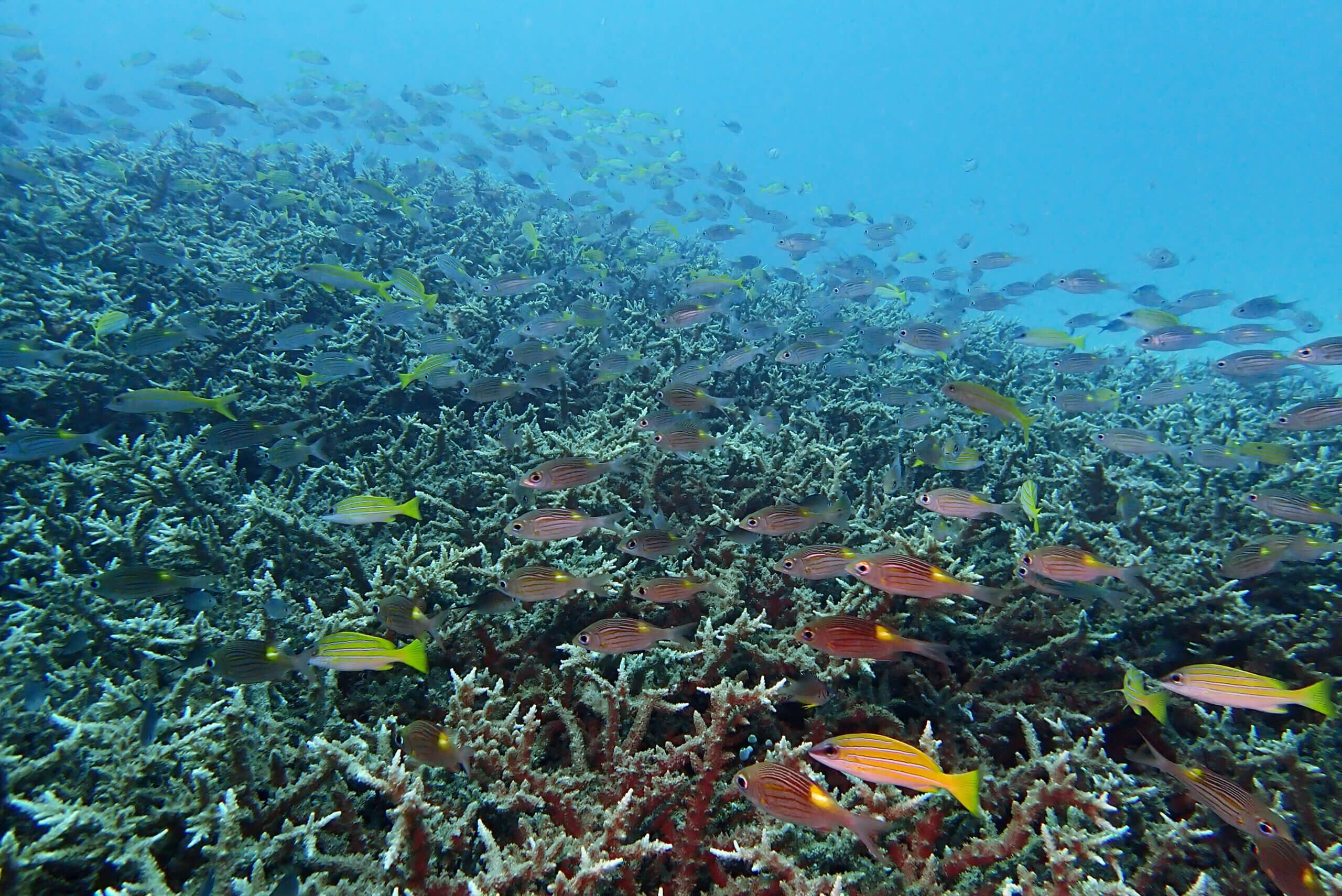 エダサンゴの群生