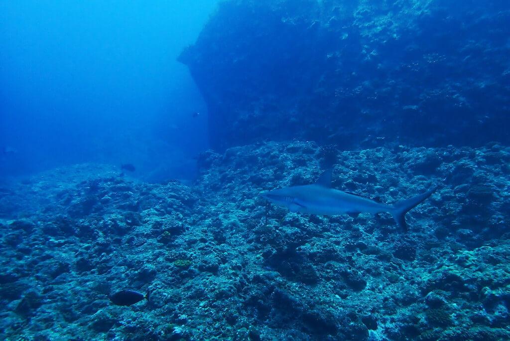 オグロメジロザメ