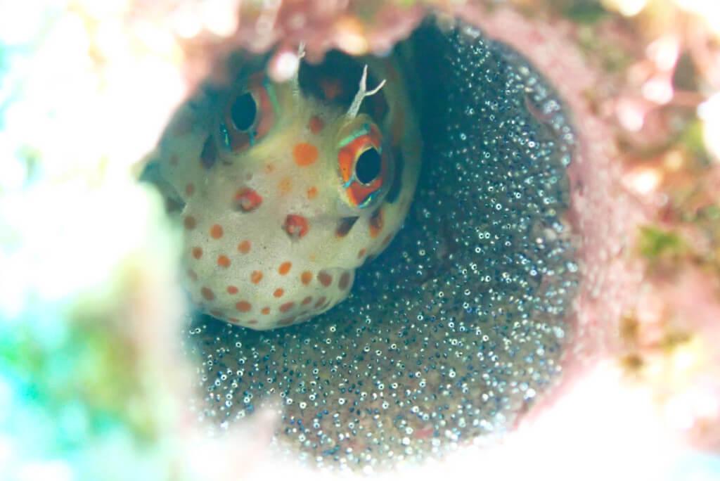 卵を守るモンツキカエルウオ