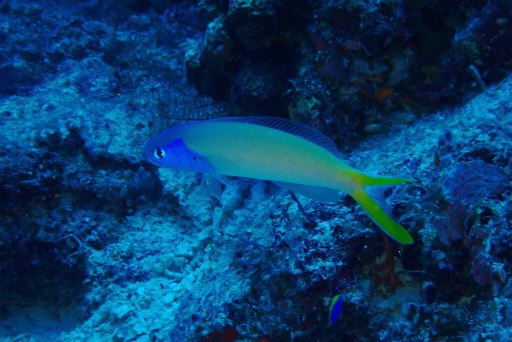 アオマスクという魚