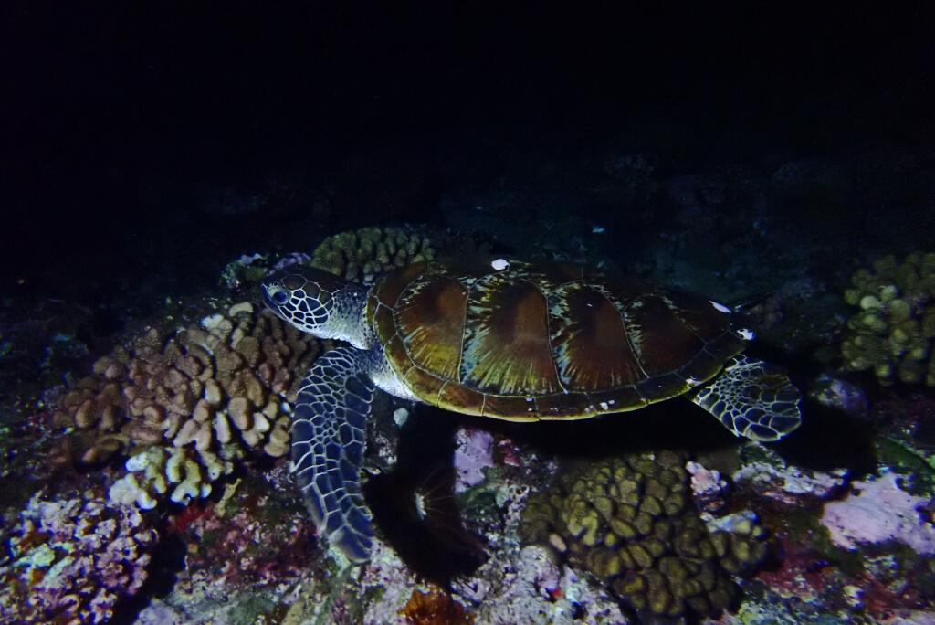 夜のウミガメ