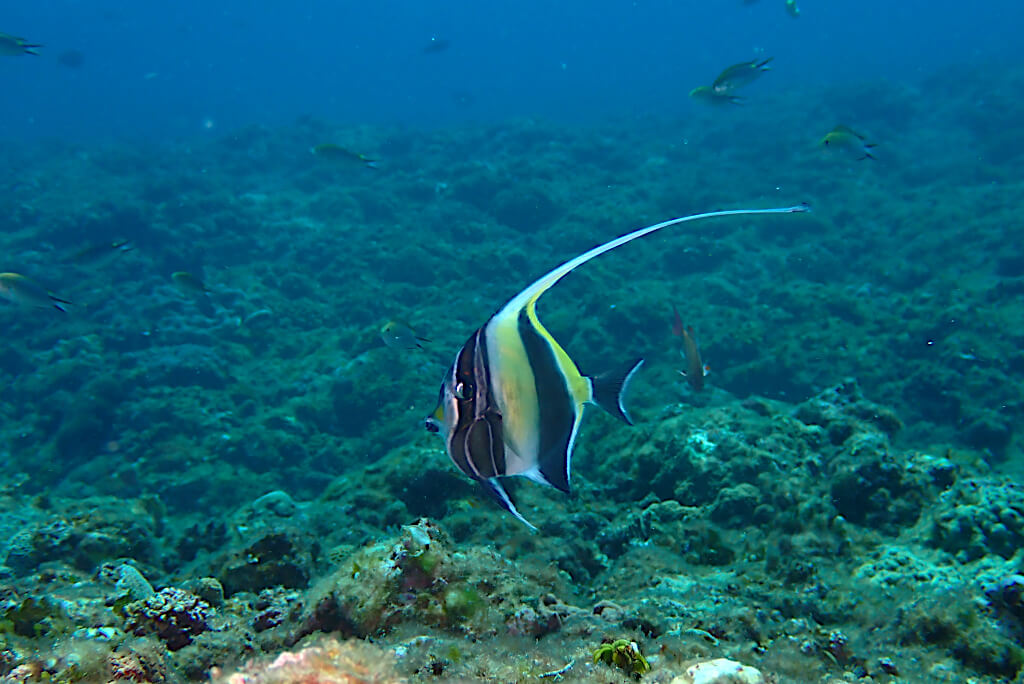 ツノダシ若魚