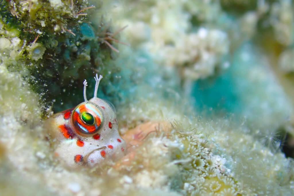 モンツキカエルウオ幼魚