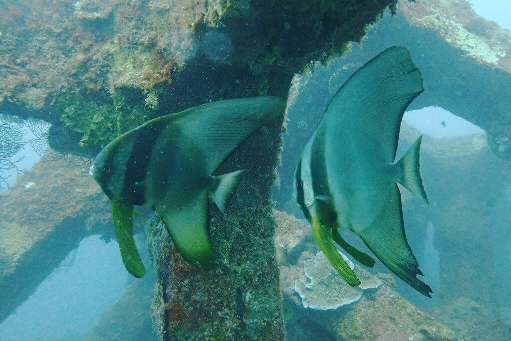 ツバメウオ若魚