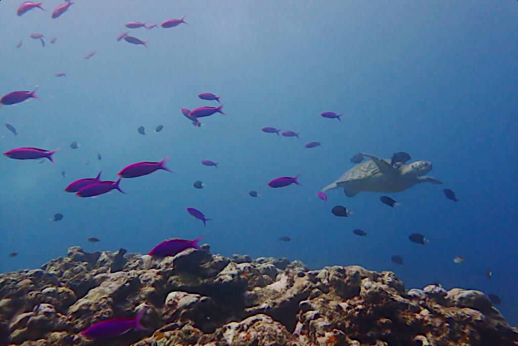ハナゴイとウミガメ